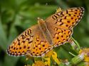 Speyeria egleis, Great Basin Fritillary? - Speyeria