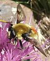Syrphid Bombus Mimic - Sericomyia flagrans - male
