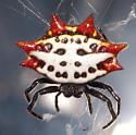 Crab Spider - Gasteracantha cancriformis