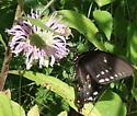 Pipevine Swallowtail - Papilio troilus