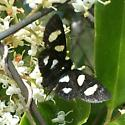 Butterfly Imitator? - Alypia octomaculata