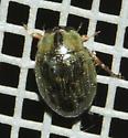 Tropisternus collaris - Berosus