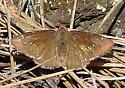 Butterfly ID - Thorybes pylades