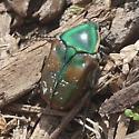 Brilliant green beetle on ground under mulch - Euphoria fulgida