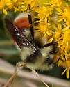 Grasslands Bumble Bee - Bombus huntii
