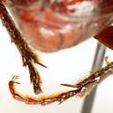 Diplotaxis pubipes Schaeffer - Diplotaxis pubipes