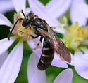 Halictus? bee with elongated abdomen - Lasioglossum fuscipenne