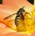 Syrphid Fly - Spilomyia