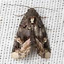 Black Wedge-Spot Moth - Hodges #9057 - Homophoberia apicosa