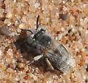 bee - Anthophora