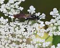 Unknown wasp - Cryptus albitarsis