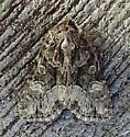 932699 – 9419 – [Platypolia] mactata – Adorable Brocade - Platypolia mactata