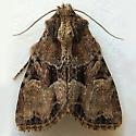 Oblique Brocade Moth - Xylomoia indirecta