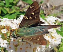 Long-tailed Skipper - Urbanus proteus