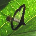 Very interesting moth - Diaphania hyalinata