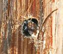 Eastern Carpenter Bee - Xylocopa virginica - female