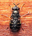 Soldier - Odontomyia interrupta