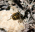 Hoverfly - Blera scitula