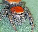 red jumper - Phidippus cardinalis