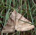 day-flying moth - Caenurgina crassiuscula