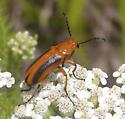 Beetle - Nemognatha piazata