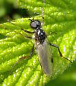 March Fly - Bibio - male