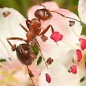 Reddish ant - Formica aserva - female