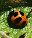 Lady-Beetle  - Coccinella monticola