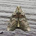 5606 – Pococera asperatella – Maple Webworm - Pococera asperatella
