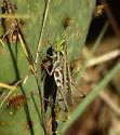 syrbula - Syrbula montezuma - female