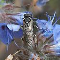 Sawfly? - Filacus