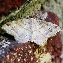 Brown Macaria Moth - 6335 - Dorsal - Macaria aequiferaria