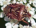 Need help to id this beetle - Trichopepla semivittata