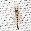 Chironomus Midge - Chironomus - male