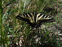 Swallowtail Butterfly - Papilio rutulus - female