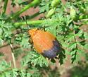 orange mystery bug - Lycus fernandezi