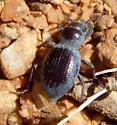 Tenebrionidae - Triorophus
