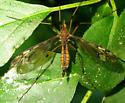Crane Fly - Tipula fuliginosa - female