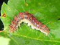 caterpillar - Acronicta retardata