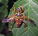 Elegant Fly (Meromacrus) - Meromacrus gloriosus - male