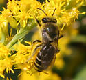 Bee ID Request - Colletes compactus - female