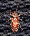 Coleoptera - Eupogonius tomentosus