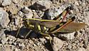 White-lined Bird Grasshopper - Schistocerca albolineata - female