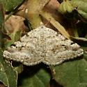 Moth - Digrammia pictipennata