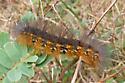 Salt Marsh Moth Caterpillar - Estigmene acrea