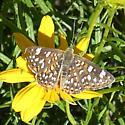 Unidentified Butterfly - Plesioarida palmerii
