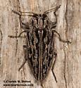 Chrysobothris woodgatei? - Chrysobothris woodgatei