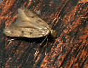 Small reddish moth with black spots and long...hair! - Carolana golmeia