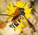 Vespidae - Pterocheilus quinquefasciatus