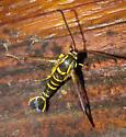 Arkansas Clearwing Moth (Synanthedon arkansasensis)? - Synanthedon arkansasensis